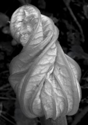 Courgette flower after Edward Weston
