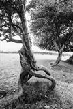 Hawthorn Trees in Motion by Jan Traylen, Photography, B&W film used
