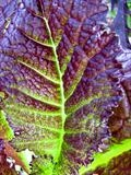 Japanese Mustard Greens by Jan Traylen, Photography, Giclée printed photograph on textured paper