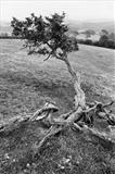 Knotted Hawthorn by Jan Traylen, Photography, Giclée printed photograph