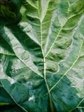 Rhubarb leaf by Jan Traylen, Photography, Giclée printed photograph on textured paper