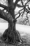 Skirted Oak in Wasdale by Jan Traylen, Photography, B&W film used