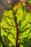 Swiss Chard by Jan Traylen, Photography, Giclée printed photograph on textured paper