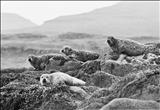 Torridon Seals 2.32 by Jan Traylen, Photography, Giclee printed photograph