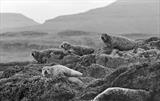 gc10 seals, loch torridon.173-32.2 by Jan Traylen, Photography