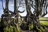gc14 gnarled beech hedge, devon.fit.1919 by Jan Traylen, Photography