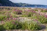gc19 slapton beach flowers, devon, 0773 by Jan Traylen, Photography