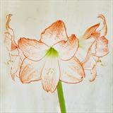gc22 amaryllis.square 0019 by Jan Traylen, Photography
