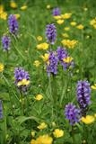gc23 marsh orchid, buttercups, devon 0096 by Jan Traylen, Photography