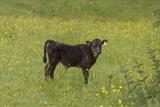 gc34 calf & buttercups, dunsford, devon 5068 by Jan Traylen, Photography