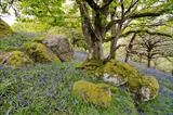 gc41 whiddon park blue bells, teign valley, devon 5729 by Jan Traylen, Photography