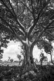 gc42 shady ethiopian tree, africa - 90 by Jan Traylen, Photography, B&W film